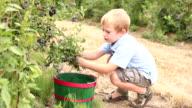 Boy picking blueberries video