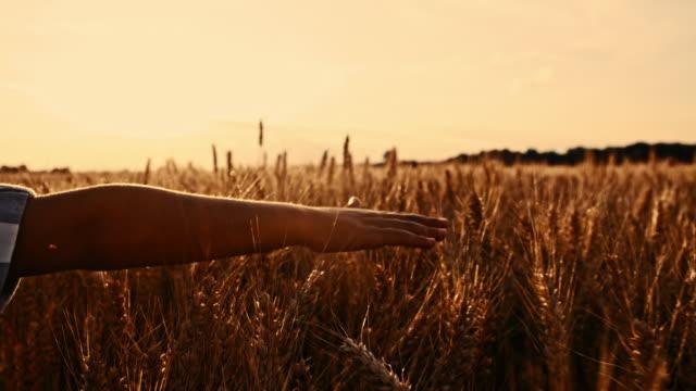 SLO MO Boy's hand touching wheat ears video