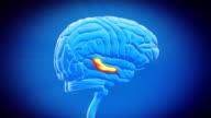 Brain part - HIPPOCAMPUS video