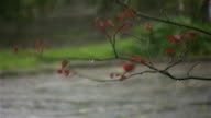 Branch in storm with wind and rain - HD720p, NTSC video