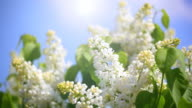 branch of a white lilac video