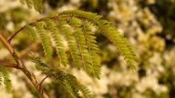 Branch of acacia on defocused background video