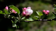 Branch of apple at the beginning of flowering. video