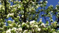 Branch of apple tree with many flowers over blue sky video