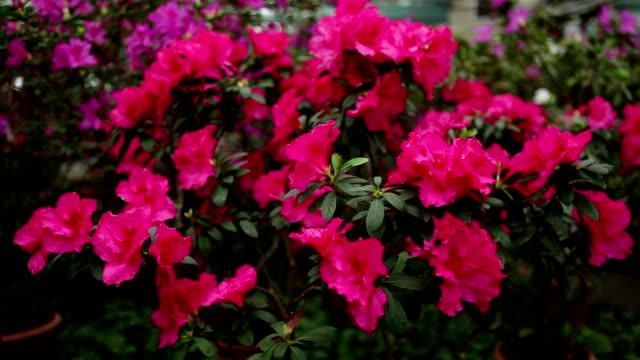 Branch of Azalea Bush With Pink Blossoms video