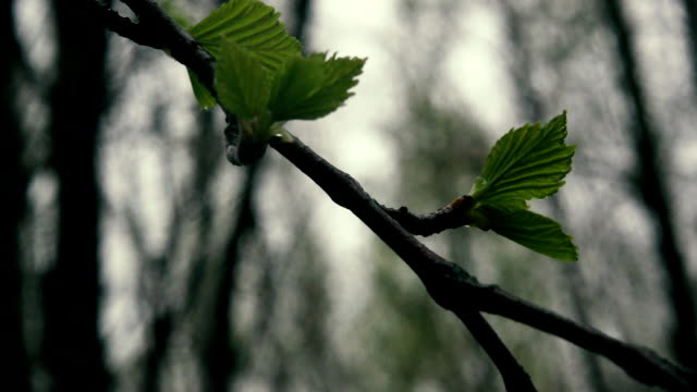Branch of birch with young leaves. Slow motion video