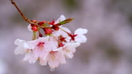 Branch of cherry blossoms in the rain. video
