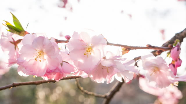 Branch of cherry blossoms video