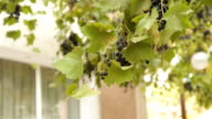 Branch Of Grapes Swaying On Wind video