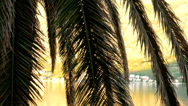 A branch of palm tree close-up. Date tree in Montenegro video