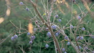 LS DS Branch Of Plums video