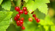 Branch of red currant video