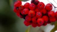 branch of red rowan in snow video