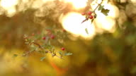 Branch of ripe hawthorn at sunny autumn day, close up video