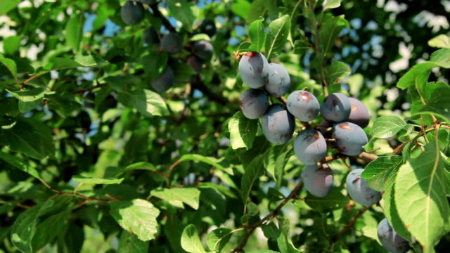 branch of ripe plums. video