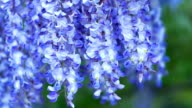 Branch of Wisteria Flower closeup with green background video