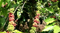 Branch with berries coffee video