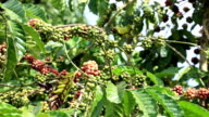 Branch with Coffee Berries video
