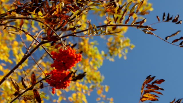 branch with ripe rowan berries in autumn video