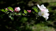 Branch with white flowers of apple. video