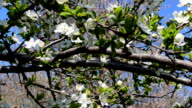 Branches and flowers of a tree video