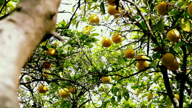 Branches of a grapefruit tree. View from ground video