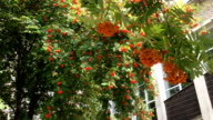 Branches of a mountain ash fluttering in the wind. video