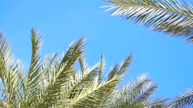 branches of Green Palm trees against the blue sky video