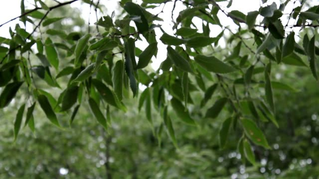 Branches of leaves in the storm video