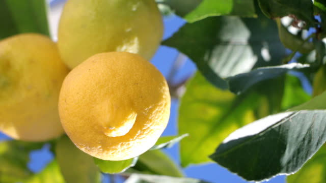 Branches With Ripe Lemons. Close up video