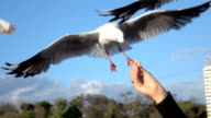 SLOW MOTION MACRO: Brave seagull trying to catch a piece of bread from hand video