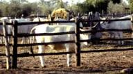breeding cows video