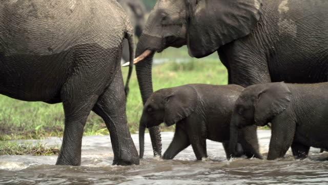 Breeding herd of elephants crossing river in the Okavango Delta video
