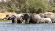 A breeding herd of elephants swimming and crossing a river in the Okavango Delta video