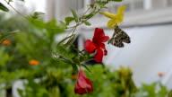 Breeding of Butterfly video