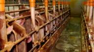 Breeding Purebred Pigs on a Farm video