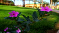 bright blooming pink flowers video