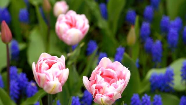 Bright flowerbed in Keukenhof video