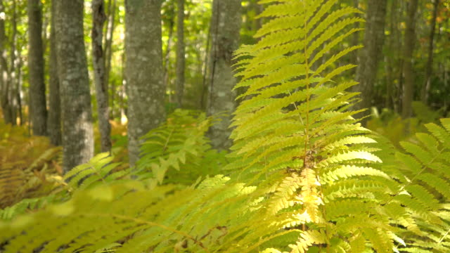 DOF: Bright green fern leaves in beautiful deciduous forest on sunny autumn day video