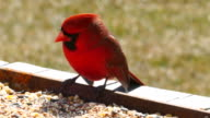 Bright red male Cardinal bird eating seed, closeup video