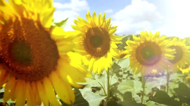 Bright sunflowers are swaying in the beatiful sunny day video