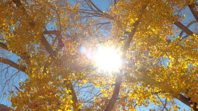Bright sunrays shining through colorful yellow tree leaves on sunny autumn day video