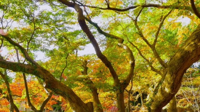 Bright, vibrant autumn leaves and trees, tilt shot video