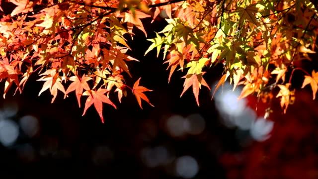 Bright, vibrant autumn leaves shinning in morning sun video