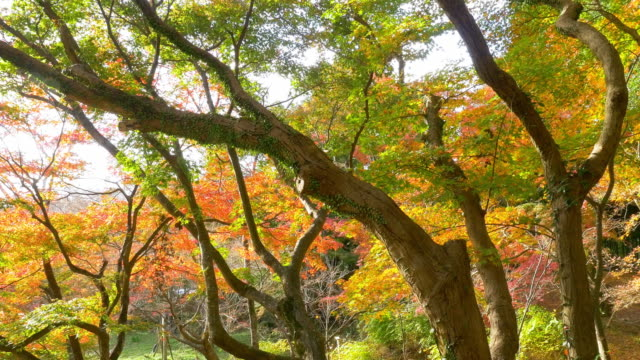 Bright, vibrant autumn leaves swaying in wind video