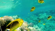 Bright yellow butterfly fish of the Red Sea. Awesome Underwater World video