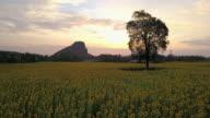 Bright yellow sunflower at wat khao jeen lae,  Lopburi, Thailand video