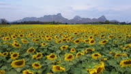 Bright yellow sunflower at wat khao jeen lae,  Lopburi, Thailand video