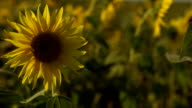 Bright yellow sunflowers swaying in the field slow motion video