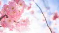 Brightly lit cherry blossom flowers in spring video